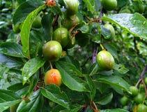 Gouttes de pluie sur les fruits verts de feuilles et de maturation de l'arbre fruitier photographie stock libre de droits