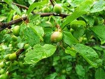 Gouttes de pluie sur les fruits verts de feuilles et de maturation de l'arbre fruitier photos libres de droits