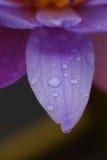 Gouttes de pluie sur les pétales Photographie stock libre de droits