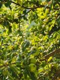 Gouttes de pluie sur les pommes vertes sur l'arbre Photos libres de droits