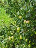 Gouttes de pluie sur les pommes vertes sur l'arbre Image stock