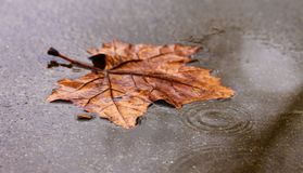 Gouttes de pluie sur une belle, vibrante feuille orange en automne images stock