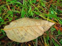 Gouttes de pluie sur une feuille brunâtre simple dans l'herbe photo libre de droits