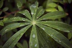 Gouttes de pluie de pluie sur une feuille de racine de guimauve Photo stock