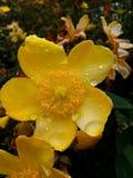Gouttes de pluie sur une fleur jaune Photos libres de droits