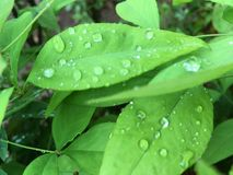 Gouttes de pluie sur une lame verte Images libres de droits