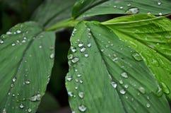 Gouttes de rosée de matin sur les feuilles vertes Photo stock