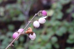 Gouttes de rosée sur des baies de neige Photographie stock