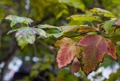 Gouttières de Lmulticolored de plan rapproché de viburnum, feuilles d'automne Photographie stock