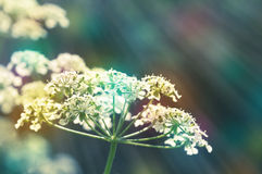 Goutweed. Vintage background. Royalty Free Stock Photography