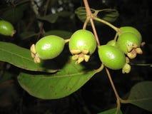 Gouva-Frucht in der Anlage Stockbild
