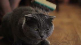 Governare britannico del gatto stock footage