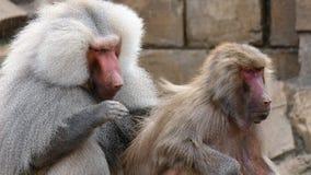 Governare dei babbuini fotografia stock libera da diritti