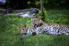 Governare dei leopardi dell'Amur Fotografia Stock Libera da Diritti