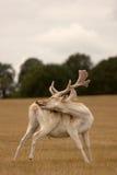 Governare del maschio dei cervi Fotografia Stock Libera da Diritti