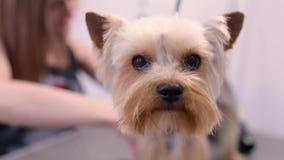 Governare dell'animale domestico Groomer che spazzola cane divertente con il pettine al salone stock footage