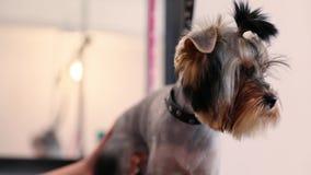 Governare dell'animale domestico Pelliccia di spazzolatura del cane del Groomer con il pettine al salone archivi video
