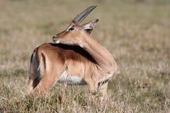 Governare dell'antilope saltante Fotografia Stock Libera da Diritti