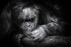Governare dell'orangutan Immagine Stock Libera da Diritti