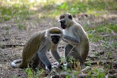 Governare delle scimmie di Vervet Fotografia Stock