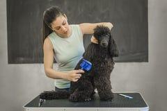 Governare un piccolo cane in un salone di peli per i cani fotografia stock libera da diritti