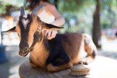 Governare una capra Fotografia Stock Libera da Diritti