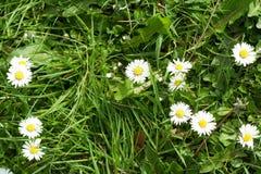 Gowan Daisy, groen gras, Stock Foto