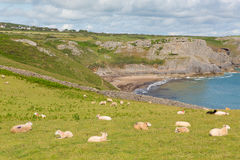 The Gower coast South Wales with sheep on the hillside at Fall Bay near to Rhossili beach Stock Photos