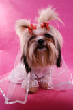 Gowned shih-tzu. Shih-tzu in a wedding gown royalty free stock images