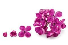 Gowth sceny kwiatu bez, Syringa vulgaris, odosobniony na whit Zdjęcie Royalty Free