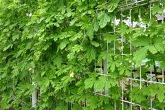 Goya vine entangled with fence Royalty Free Stock Image