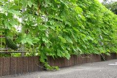 Goya vine entangled with fence Stock Photography