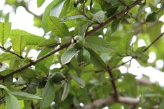 Goyaves sur l'arbre dans les paires photo libre de droits