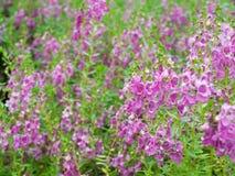 goyazensis λουλουδιών angelonia Στοκ φωτογραφίες με δικαίωμα ελεύθερης χρήσης