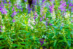 Goyazensis Benth Angelonia λουλουδιών Wichian Waew Στοκ Εικόνες