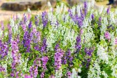 Goyazensis Benth Angelonia λουλουδιών Wichian Waew Στοκ φωτογραφία με δικαίωμα ελεύθερης χρήσης