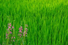 Goyazensis Benth Angelonia στον τομέα ρυζιού Στοκ Εικόνες