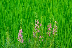 Goyazensis Benth Angelonia στον τομέα ρυζιού Στοκ Φωτογραφία