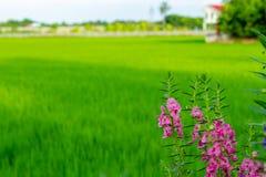 Goyazensis Benth Angelonia στον τομέα ρυζιού Στοκ εικόνες με δικαίωμα ελεύθερης χρήσης