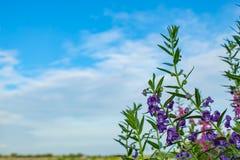 Goyazensis Benth Angelonia στον τομέα ρυζιού Στοκ Φωτογραφίες