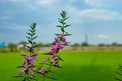 Goyazensis Benth de Angelonia no campo do arroz Imagens de Stock