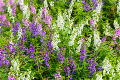 Goyazensis Benth van Waewwichian flower angelonia Royalty-vrije Stock Fotografie