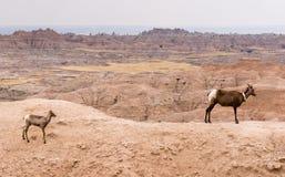 GPS跟踪衣领荒地的大角野绵羊母亲和小牛 库存照片