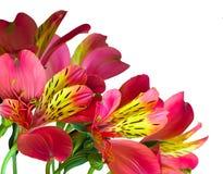 Gráfico de Digitaces de la flor aislado foto de archivo