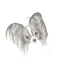 Gráfico de lápiz de un perro lindo de Papillon Imagen de archivo libre de regalías