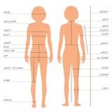 gráfico de tallas de las medidas del cuerpo, Fotos de archivo libres de regalías