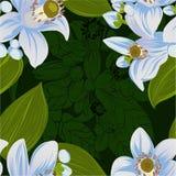 Gráfico del vector Árbol anaranjado - flores y brotes citrus Modelo inconsútil Plantas medicinales, del perfume y del cosmético libre illustration