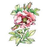 Gráfico os nomes cor-de-rosa de florescência do cão do ramo: O japonês aumentou, rugosa de Rosa Fotografia de Stock