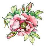 Gráfico os nomes cor-de-rosa de florescência do cão do ramo: O japonês aumentou, rugosa de Rosa Foto de Stock