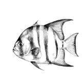 Gráficos de vetor do esboço dos peixes ilustração royalty free